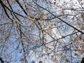 恩田川の桜(町田市)-2-19.04