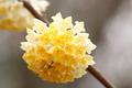 ソニー・スクエア、ブータンミツマタの花(中央区)-1-19.04