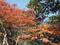 皇居の紅葉(千代田区)-1-19.12