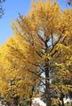 上野公園、イチョウ(台東区)-2-19.11