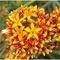 ボロボロノキの花