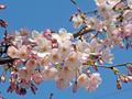 つくし野の桜(横浜市)-2-20.03