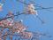 つくし野の桜(横浜市)-1-20.03