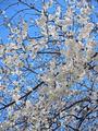 恩田川の桜(町田市)-4-20.03