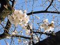 恩田川の桜(町田市)-3-20.03