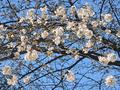 恩田川の桜(町田市)-1-20.03