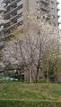 クリームイエローのモクレン(横浜市・青葉区)-1-20.03