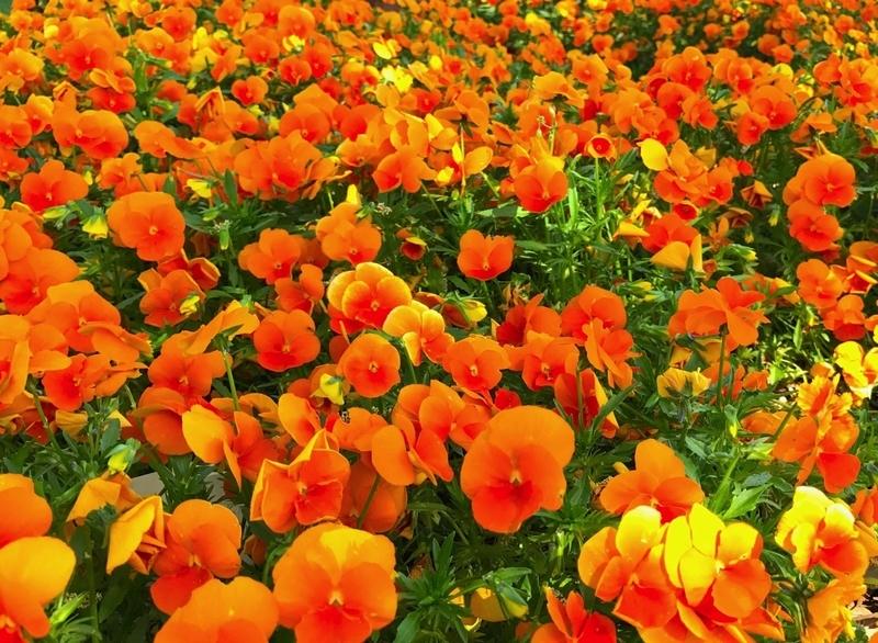 国営ひたち海浜公園のお花畑