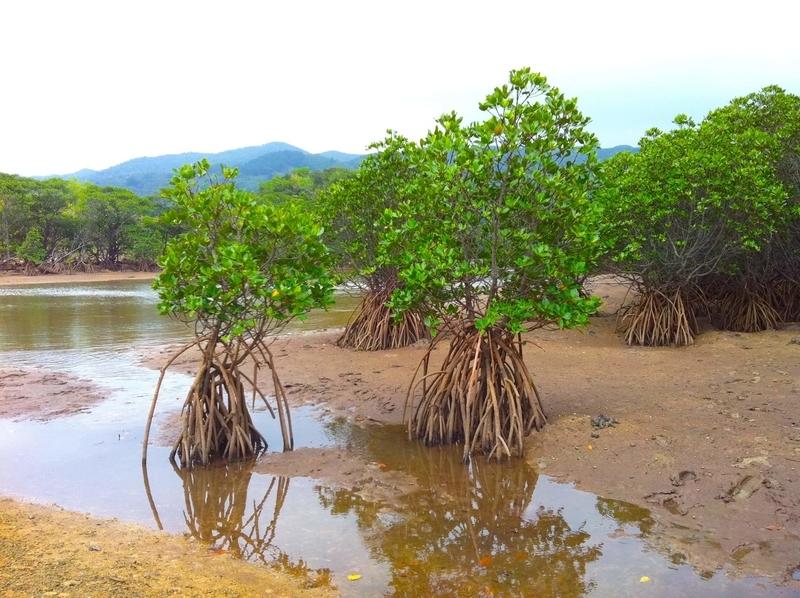石垣島の吹通川のマングローブ林