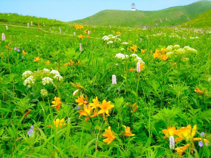 礼文島の高山植物が咲き乱れる季節