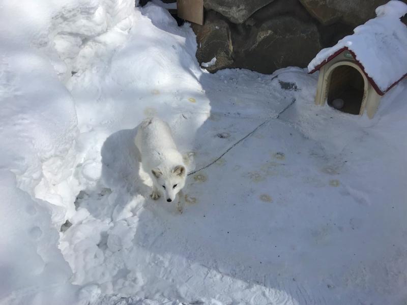 冬のノースサファリサッポロのホッキョクギツネ