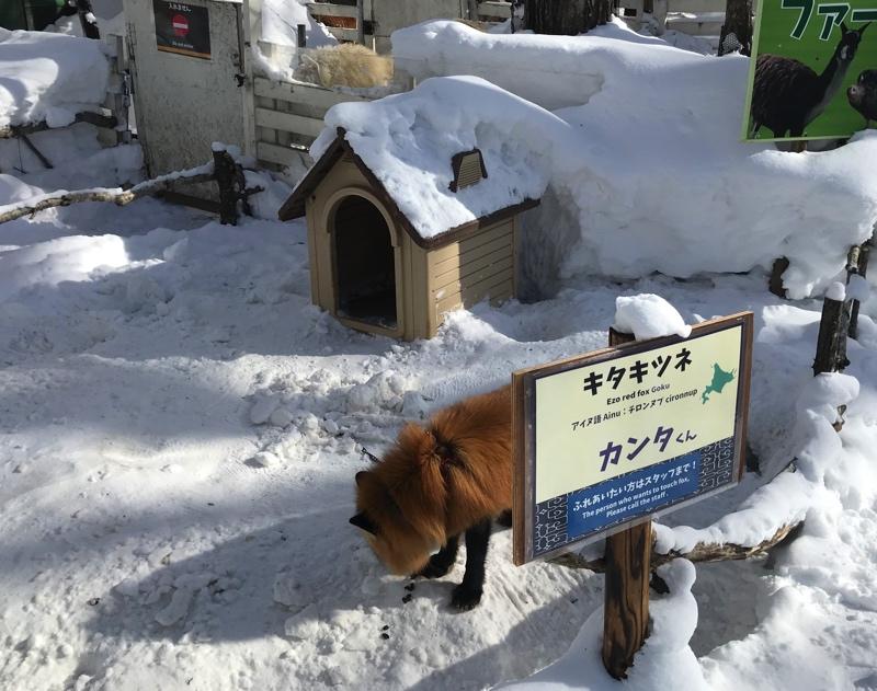 冬のノースサファリサッポロのキタキツネ