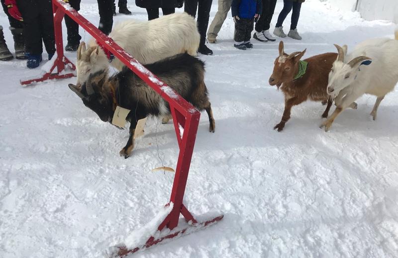 冬のノースサファリサッポロのヤギレース