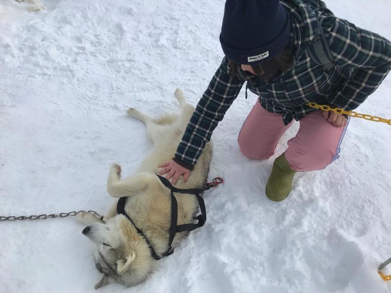 冬の北海道の犬ぞりのシベリアンハスキー