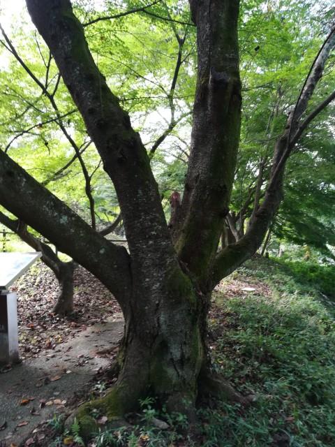 中尾山古墳の近くの木