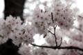 [2010][桜]
