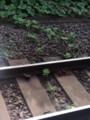 線路脇の植物がレールにまで