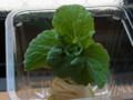白菜の芯の水栽培4