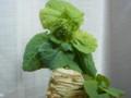 白菜の芯 2016年3月20日