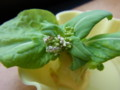 2017年3月21日 白菜の芯の水栽培