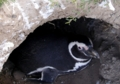 マゼランペンギン(バルデス半島,アルゼンチン)