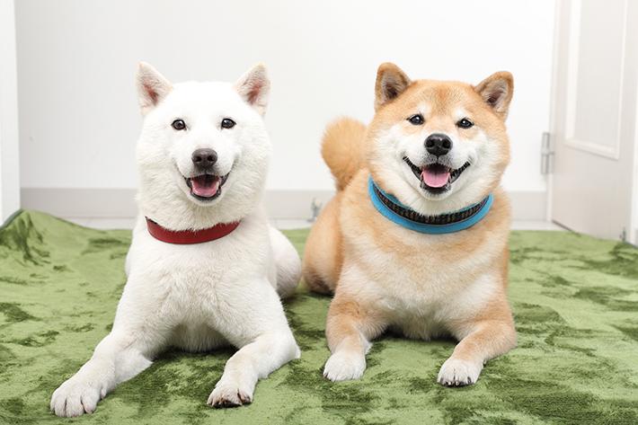 1月の人気記事 Instagramで大人気の柴犬 まる先輩、インスタのコツを教えてください! by お父さん