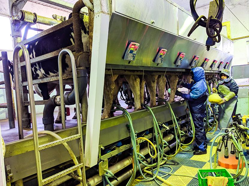 乳牛の搾乳作業