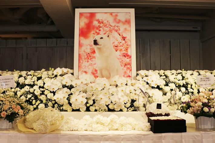 約300本のテレビCMに出演した、白戸家の初代お父さん犬「カイくん」への感謝を込めて「カイくんありがとう展」開催