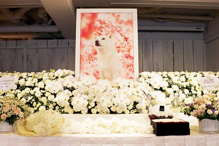 7月の人気記事 約300本のテレビCMに出演した、白戸家の初代お父さん犬「カイくん」への感謝を込めて「カイくんありがとう展」開催