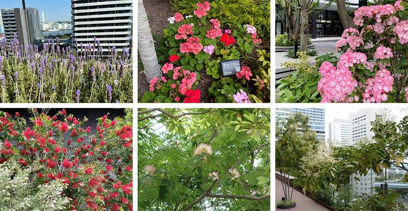 東京ポートシティ竹芝オフィスタワー内にも蜜源となるさまざまな草木があります。写真上段左から、ラベンダー、ゼラニウム、シャクナゲ。下段左から、ブラシノ木とシルバープリベット、ネムノ木、シマトネリコ。