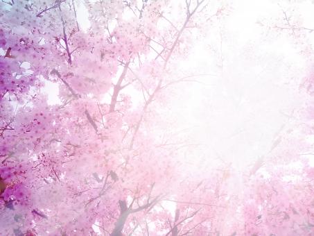 桜の木の上から太陽が差し込んでいる画像