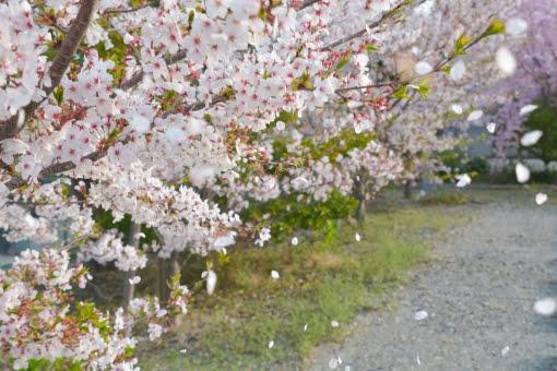公園の道端の桜が散りかけている画像