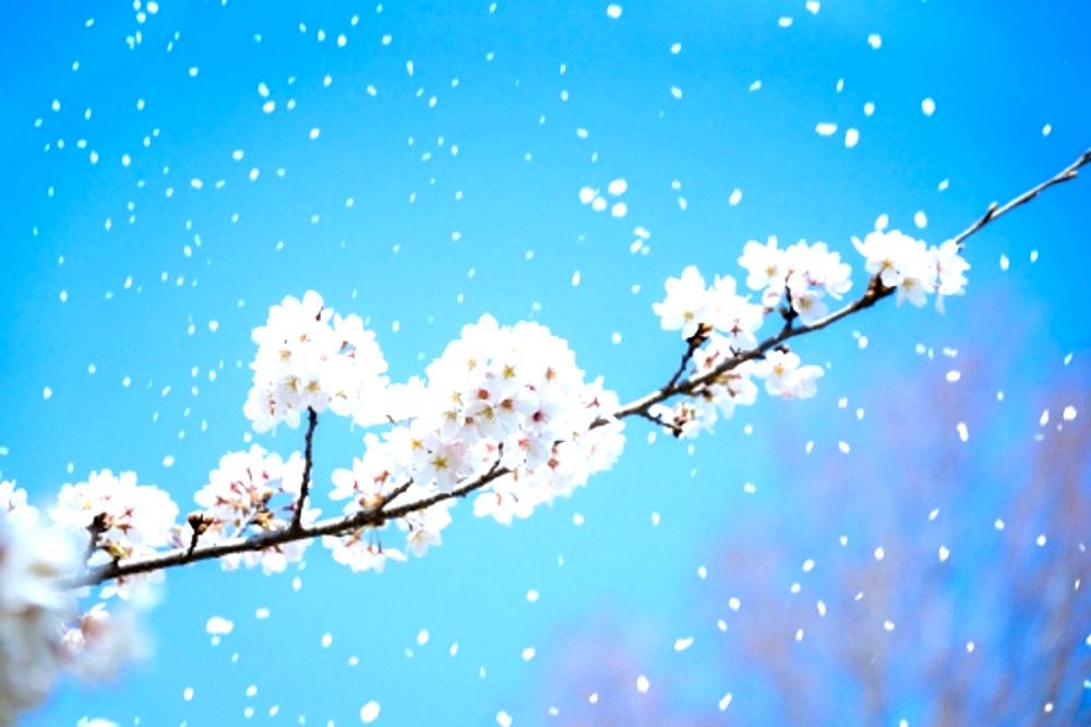 桜の枝から花びらが散っている画像