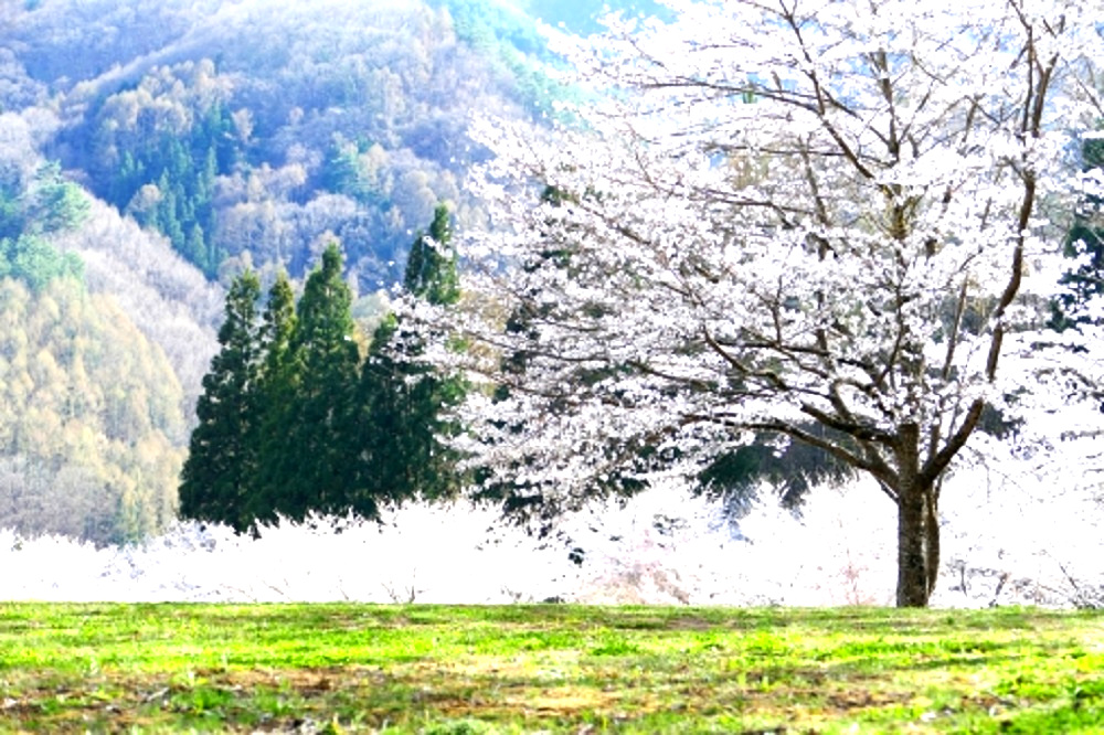 山中の草原で咲き誇る桜の樹の画像