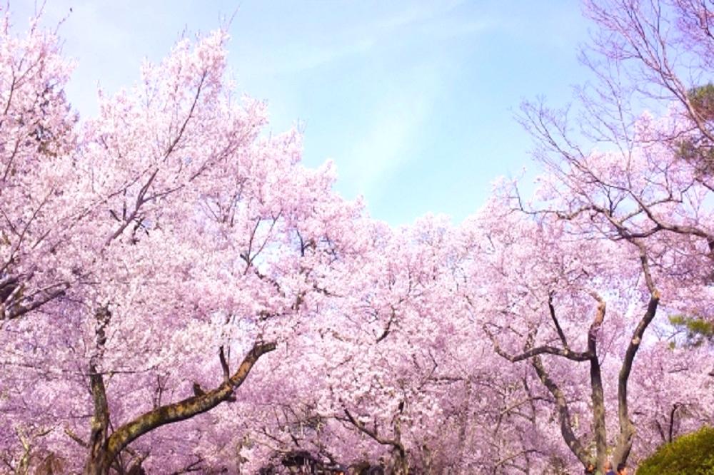 満開の桜の樹の画像