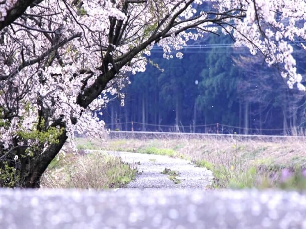 道端の散りかけている桜の樹