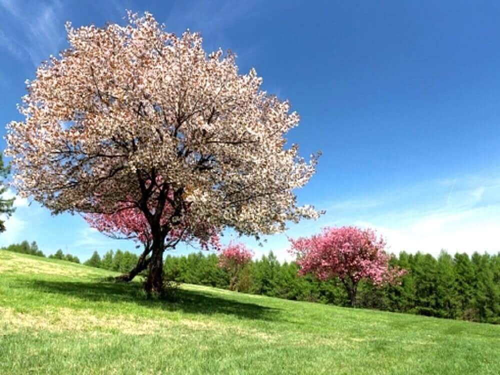 山中の草原で咲き誇る桃色の桜の樹の画像
