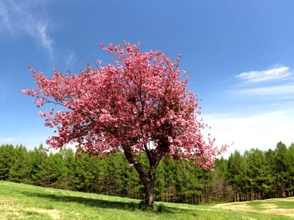 山中の草原で咲き誇る紅色の桜の画像