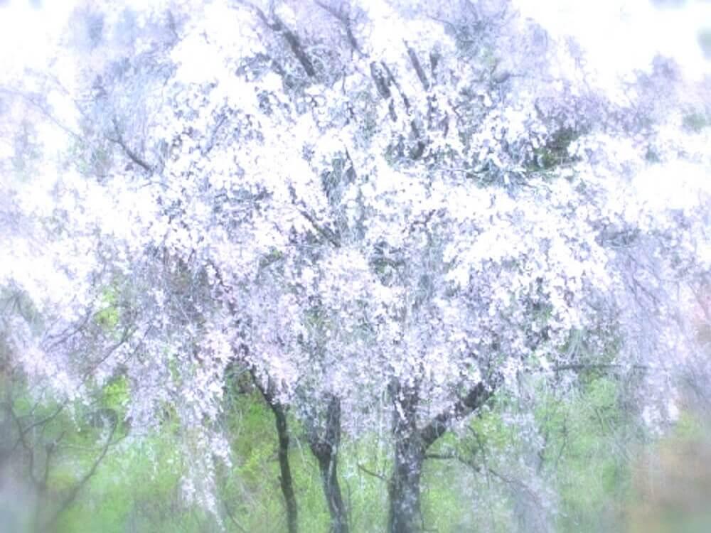 少しぼやけた満開の桜の樹の画像