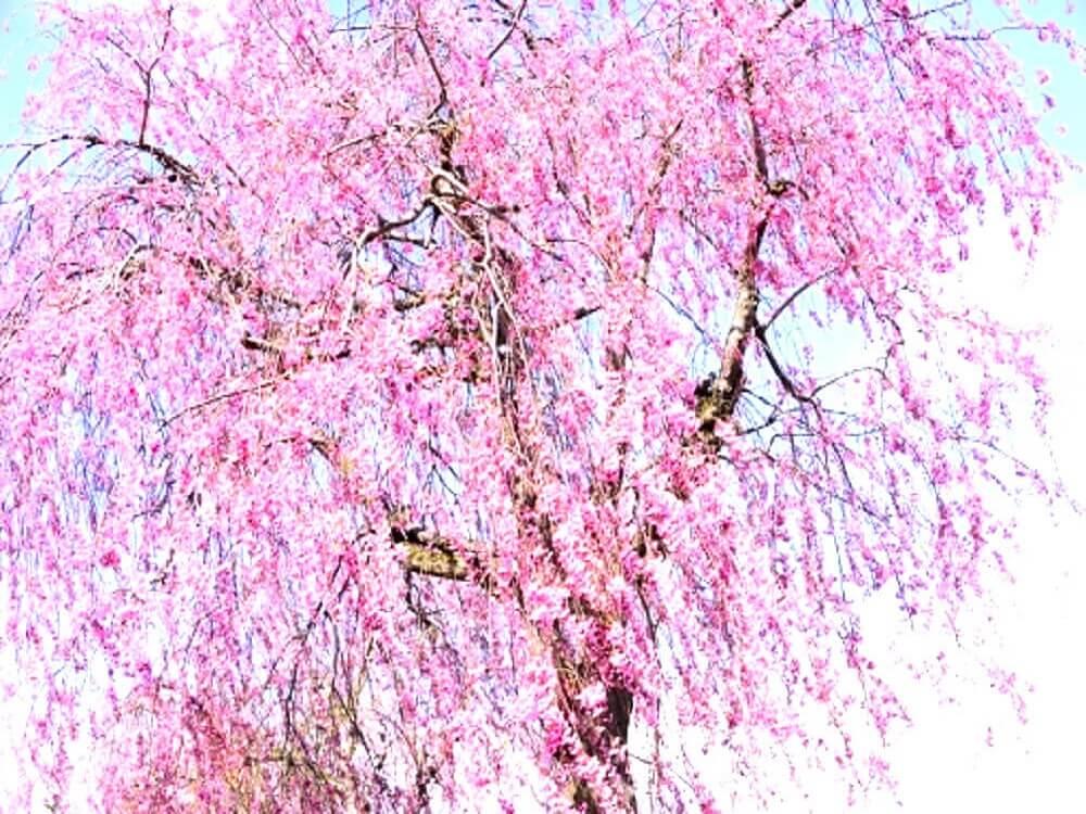 満開の桜の樹
