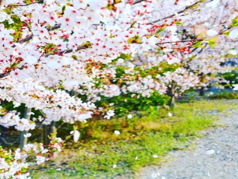 公園の道端の桜が散りかけている