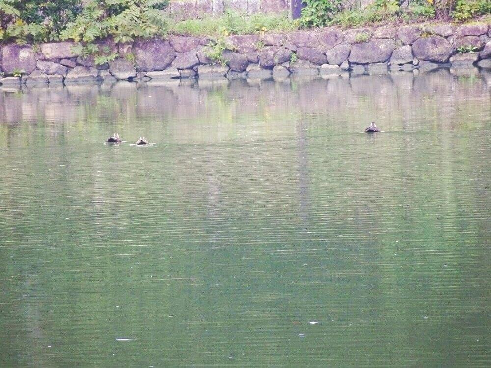 グリーンパーク山東の三島池のカモ