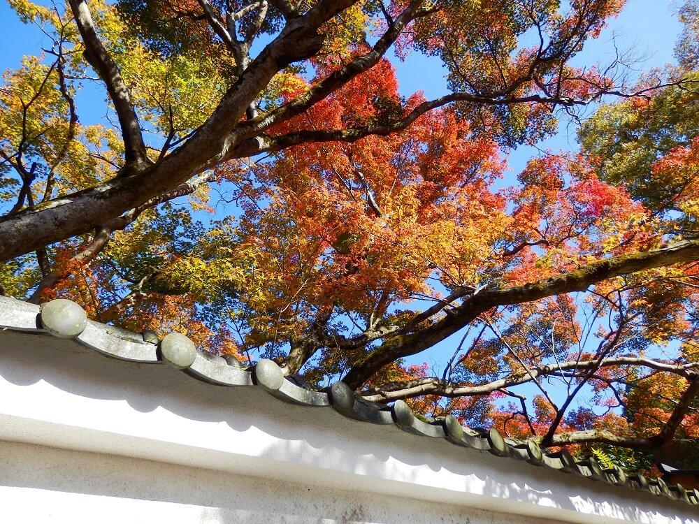 実光院の壁から律川に向かって出ている紅葉した樹木