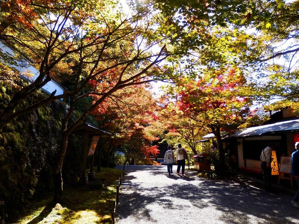 大原三千院の御殿門前の参道の紅葉した樹々