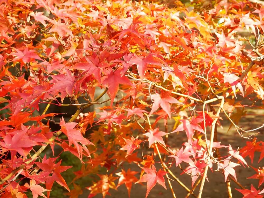 京都の北野天満宮の本殿へ向かう参道沿いの紅葉したもみじの樹