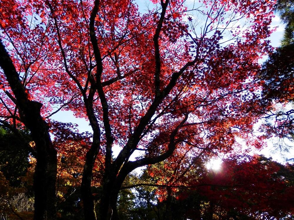 銀閣寺(東山慈照寺)の本堂から展望所への参道沿いの紅葉した樹木