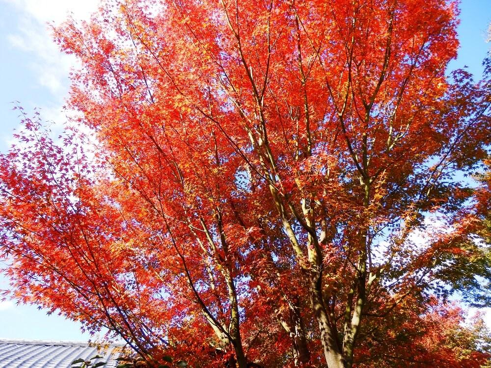 高台寺の湖月庵から方丈への参道沿いの紅葉した樹木