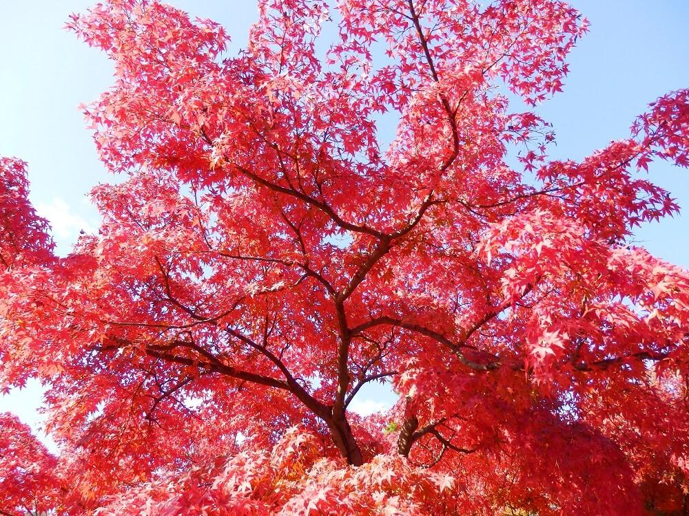 天龍寺の参道の紅葉した樹木