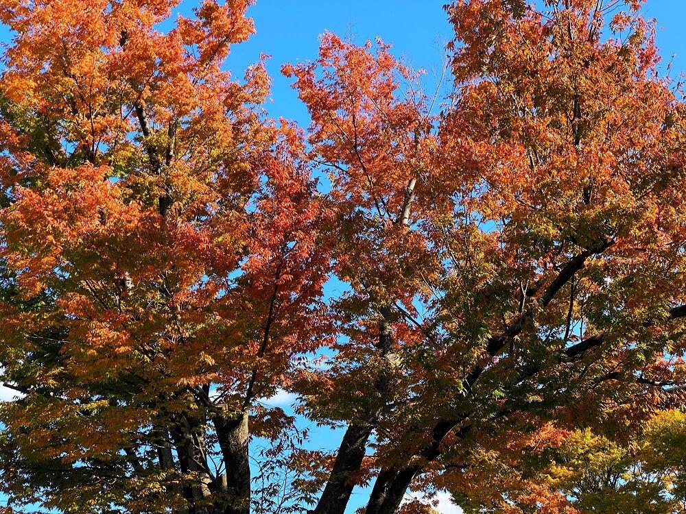 蓮華王院 三十三間堂の紅葉した樹木