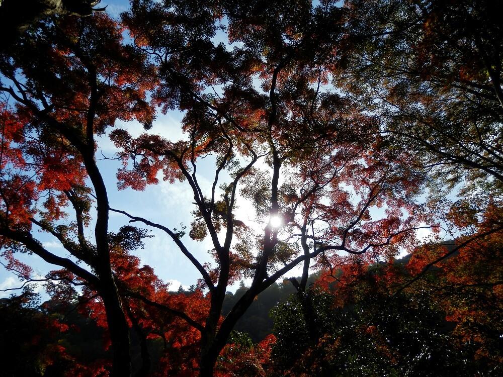 嵐山公園亀山地区の遊歩道の紅葉した樹木
